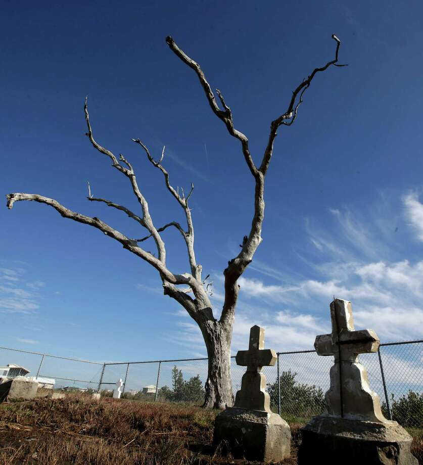 In this Dec. 29, 2012 photo, a leafless tree stands over graves in the Cheniere Caminada cemetery in Grand Isle, La. Many coastal Louisiana cemeteries are just skeletons of what they used to be. The few trees still standing have been killed by saltwater intrusion from the Gulf. Their leafless branches are suspended above marsh grass left brown and soggy from saltwater that has crept up from beneath the graves. Photo: Dave Martin, AP / AP