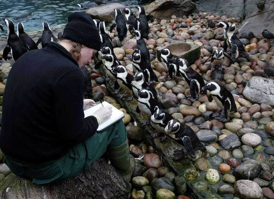 BRISTOL, ENGLAND - JANUARY 02:  Keeper Pippa Green helps count some of the penguins as part of the annual stock take at Bristol Zoo on January 2, 2013 in Bristol, England. The annual animal 'census' is carried out at the start of each year and includes stocktaking more than 400 species; from tiny insects, fish and birds, to seals, gorillas and monkeys. Photo: Matt Cardy, Getty Images / 2013 Getty Images