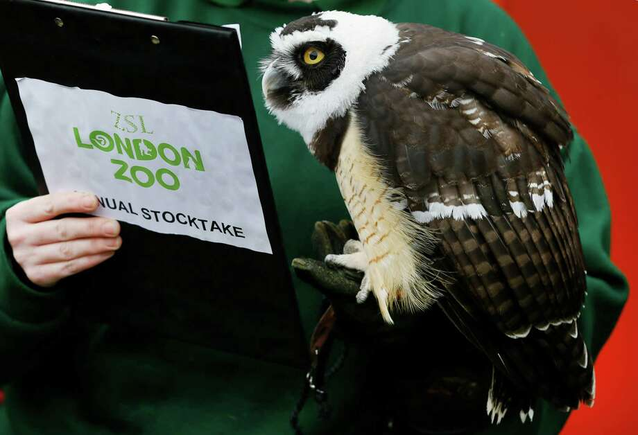 A Spectacled Owl looks at a clipboard during a photo call for the annual stock take at London Zoo, Thursday, Jan. 3, 2013. More than 17,500 animals including birds, fish, mammals, reptiles and amphibians are counted in the annual stock take at the zoo. Photo: Kirsty Wigglesworth, AP / AP