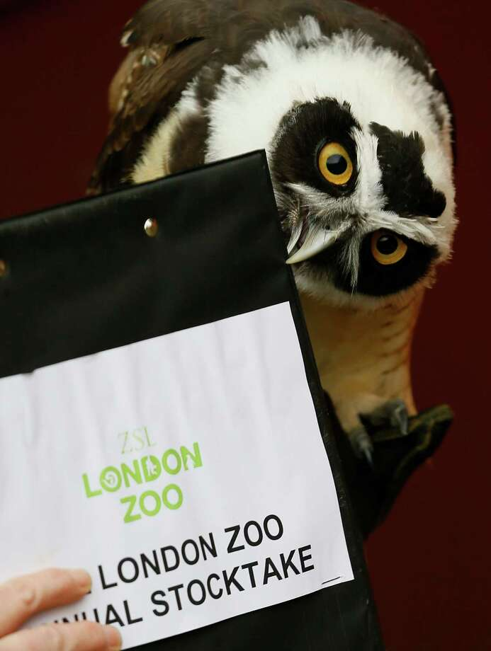 A Spectacled Owl nips a clipboard during a photo call for the annual stock take at London Zoo, Thursday, Jan. 3, 2013. More than 17,500 animals including birds, fish, mammals, reptiles and amphibians are counted in the annual stock take at the zoo. Photo: Kirsty Wigglesworth, AP / AP