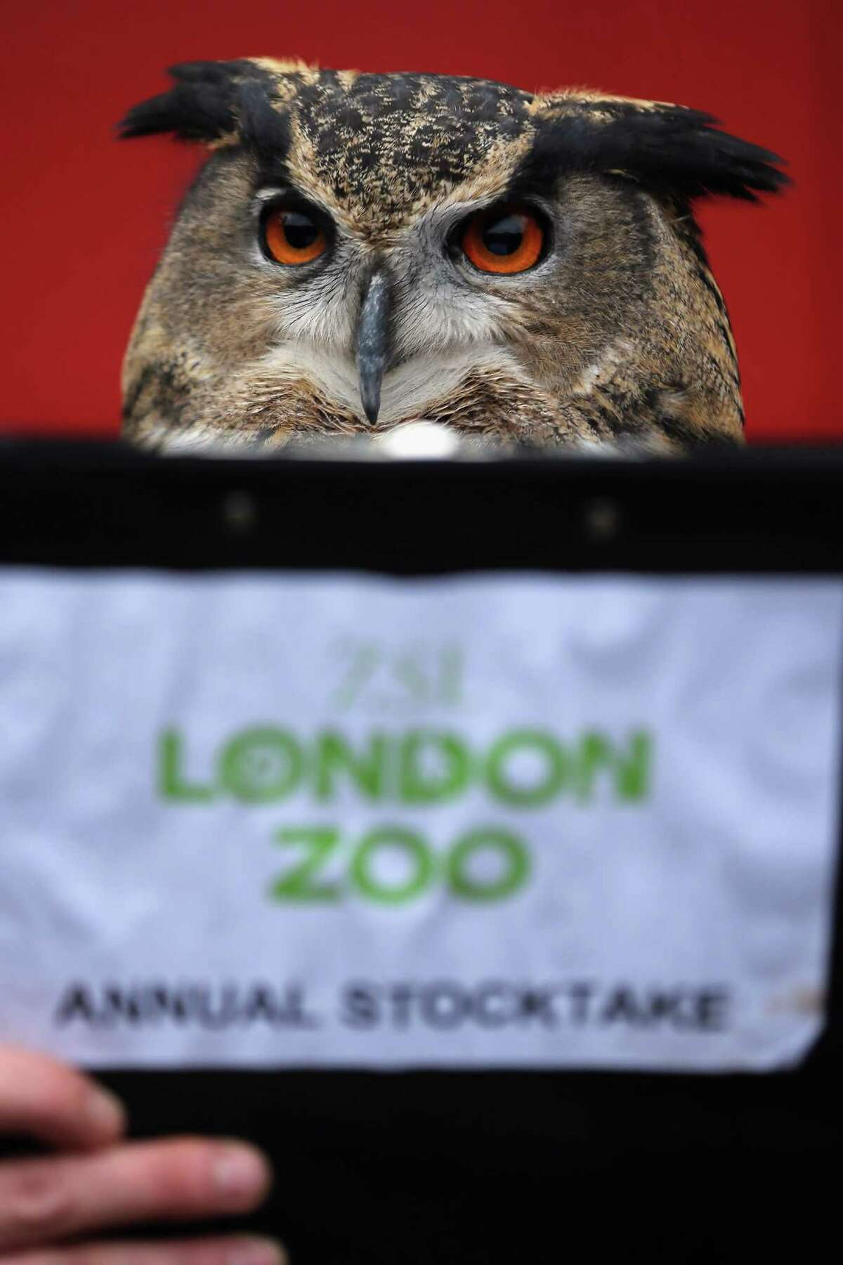 LONDON, ENGLAND - JANUARY 03: A Eurasian Eagle Owl is posed up in front of a clipboard during London Zoo's annual stocktake of animals on January 3, 2013 in London, England. The zoo's stocktake takes place annually, and gives keepers a chance to check on the numbers of every one of the animals from stick insects and frogs to tigers and camels.