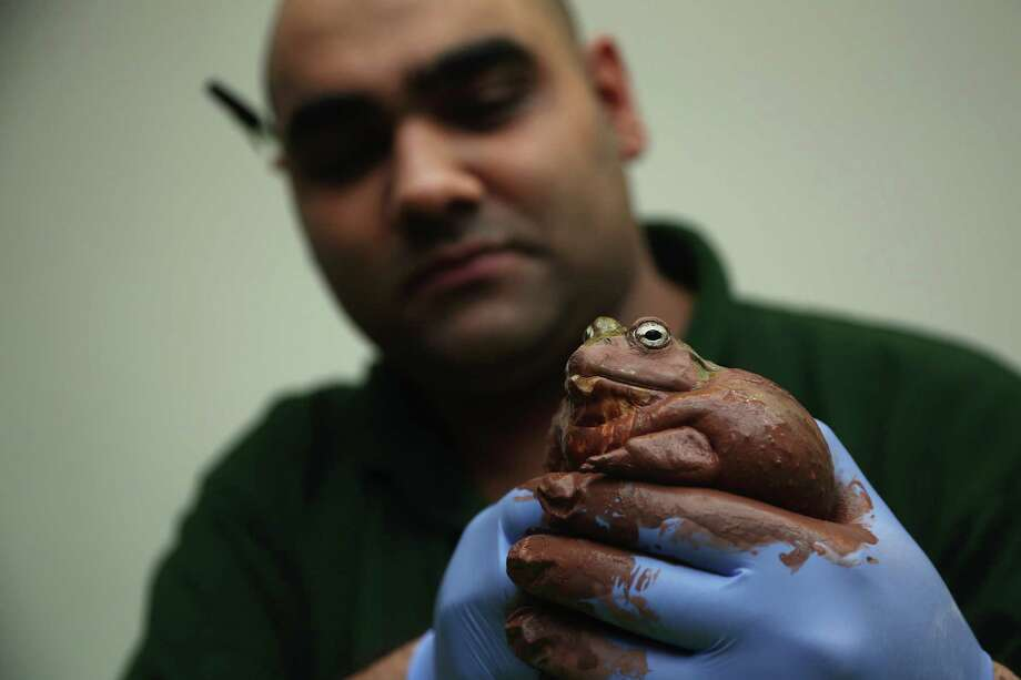 LONDON, ENGLAND - JANUARY 03:  A Bull Frog is held during London Zoo's annual stocktake of animals on January 3, 2013 in London, England. The zoo's stocktake takes place annually, and gives keepers a chance to check on the numbers of every one of the animals from stick insects and frogs to tigers and camels. Photo: Dan Kitwood, Getty Images / 2013 Getty Images