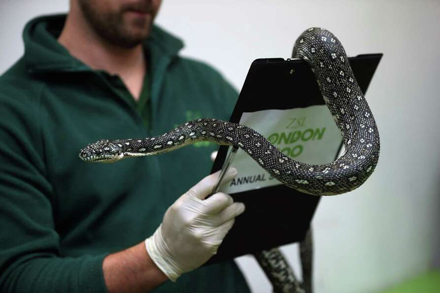 LONDON, ENGLAND - JANUARY 03:  A Diamond Python is held during London Zoo's annual stocktake of anim
