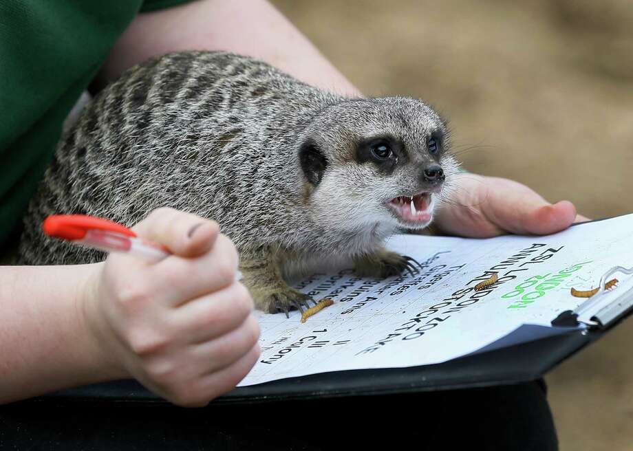 A meerkat sits on a keepers clipboard during a photo call for the annual stock take at London Zoo, Thursday, Jan. 3, 2013. More than 17,500 animals including birds, fish, mammals, reptiles and amphibians are counted in the annual stock take at the zoo. Photo: Kirsty Wigglesworth, AP / AP