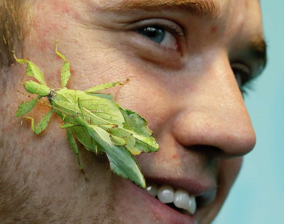 Keeper Jeff Lambert smiles as two leaf insects get close during a photo call for the annual stock take at London Zoo, Thursday, Jan. 3, 2013. More than 17,500 animals including birds, fish, mammals, reptiles and amphibians are counted in the annual stock take at the zoo. Photo: Kirsty Wigglesworth, AP / AP