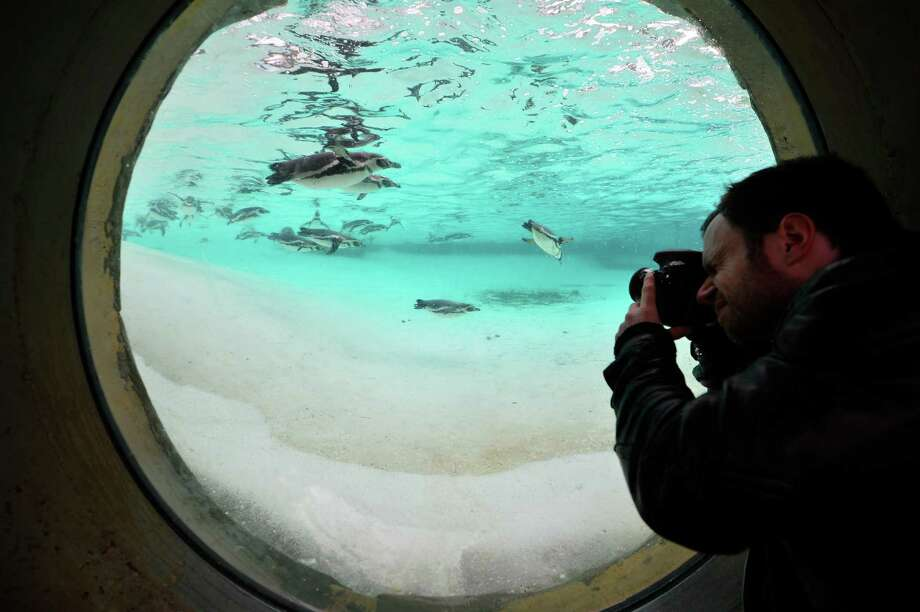 A photographer takes pictures of penguins during the annual stocktake at ZSL London Zoo in central London on January 3, 2013. ZSL London Zoo embarked on January 3 on their annual complete head-count of every animal at the zoo, which houses over 17,000 animals. AFP PHOTO / BEN STANSALLBEN STANSALL/AFP/Getty Images Photo: BEN STANSALL, AFP/Getty Images / AFP