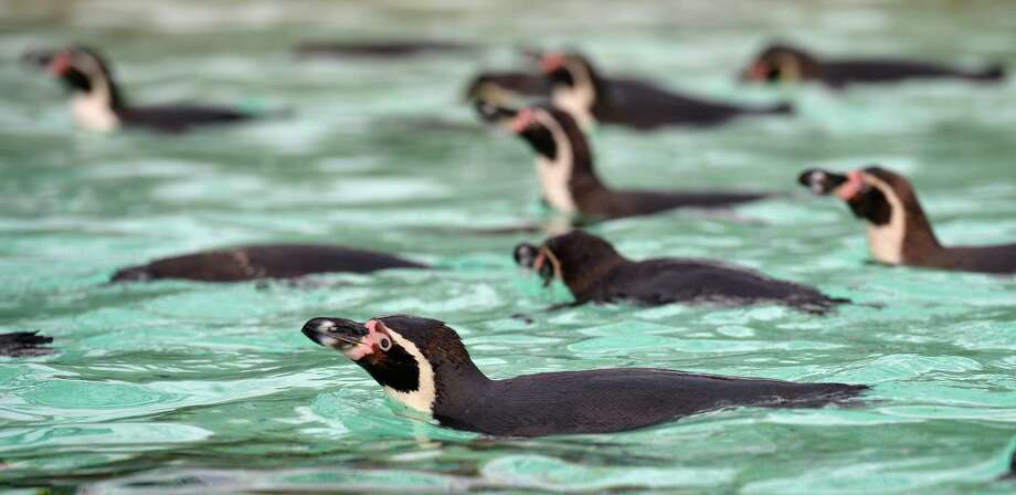 Penguins swim during the annual stocktake at ZSL London Zoo in central London on January 3, 2013. ZSL London Zoo embarked on January 3 on their annual complete head-count of every animal at the zoo, which houses over 17,000 animals. AFP PHOTO / BEN STANSALLBEN STANSALL/AFP/Getty Images Photo: BEN STANSALL, AFP/Getty Images / AFP
