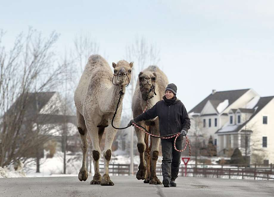 She regularly walks camels for a mile: Bambi Brook of the Sanctuary for Animals leads Ted and Azuri on a walk around Westtown, N.Y. The camels are back from Radio City Music Hall, where they were performing in the Christmas Spectacular. Photo: Tom Bushey, Associated Press