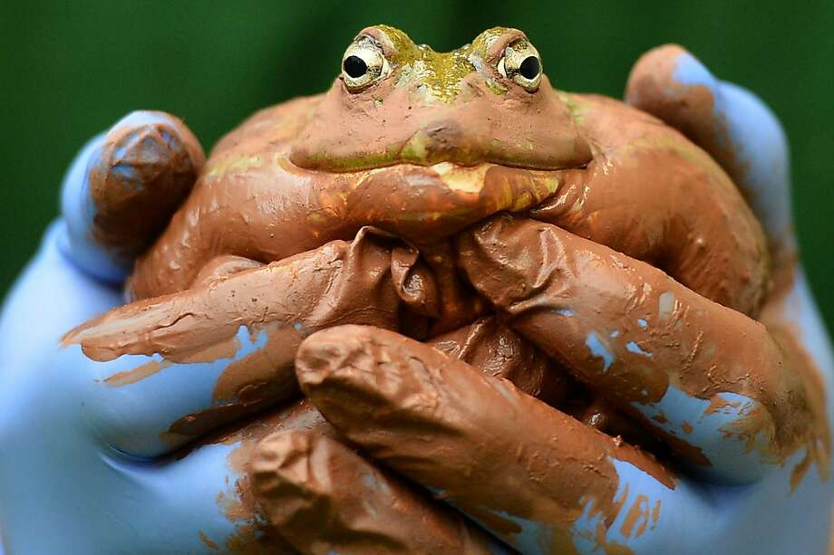 A zoo keeper holds a Bull frog during the annual stocktake at ZSL London Zoo in central London on January 3, 2013. ZSL London Zoo embarked on January 3 on their annual complete head-count of every animal at the zoo, which houses over 17,000 animals. Photo: Ben Stansall, AFP/Getty Images