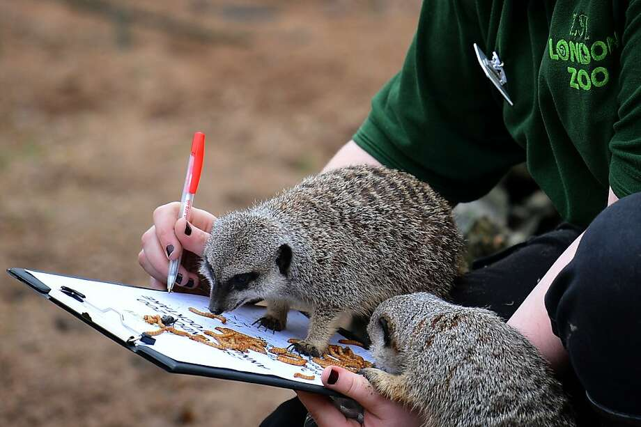 Is that a nine or a four? A meerkat checks a London Zoo attendant's math during the annual head count of every animal at the zoo. Photo: Ben Stansall, AFP/Getty Images