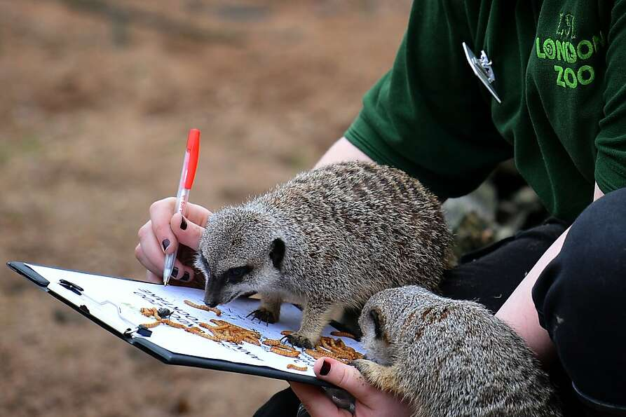 Is that a nine or a four? A meerkat checks a London Zoo attendant's math during the annual he