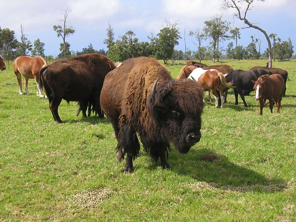 In addition to nature hikes and a new zipline tour in the uplands of South Kona, Kona Eco Adventures offers ATV tours that pass by buffalo and cattle on historic ranchlands.