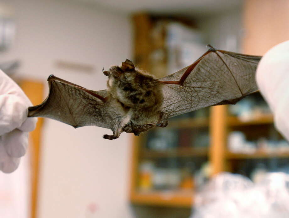 A local Little Brown Bat is examined for White Nose Syndrome. (Times Union archive)