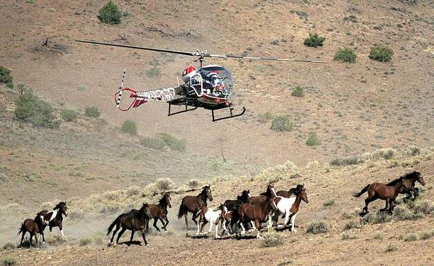 Wild horses get rounded up in 2002 on the Virginia Range, east of Reno. Photo: Liz Margerum, Associated Press