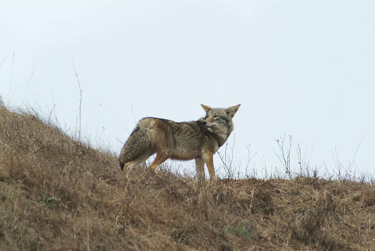 Note: old caption info. Ran on: 06-06-2007. This coyote was seen around Bernal Hill by Sharon Beals, who thinks someone is feeding it. Ran on: 06-06-2007