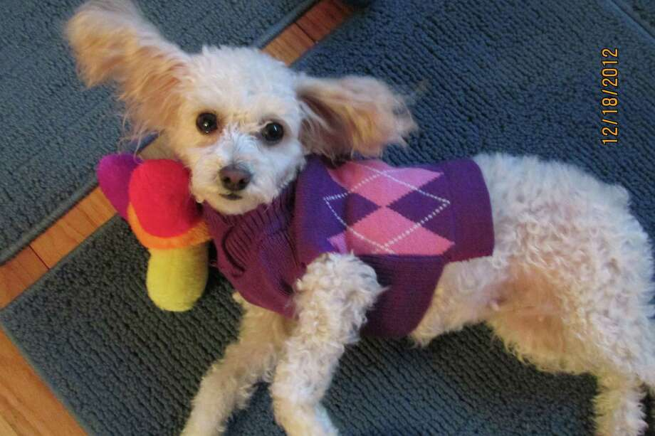 "Check out Rosie. Check out her sweater, too. The 2-and-a-half year old was adopted from the Mohawk Hudson Humane Society in November and now enjoys her new home with Lyn Forezzi of Albany. ""Everyone who meets Rosie falls immediately in love with her,"" Forezzi says. And you might have gathered from the photo that Rosie ""is a big ham and loves to have her pictures taken."" The winter apparel was a Christmas gift from Forezzi?s friend Rosemary. (Lyn Forezzi)"