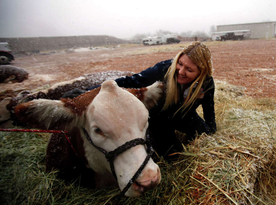 Tammy Jo Turner checks on her daughter's 1-year-old Hereford steer named Firecracker during the first snowfall of the New Year, Thursday Jan. 3, 2013 at the Ector County Coliseum in Odessa, Texas. Photo: Edyta Blaszczyk, Associated Press / Odessa American