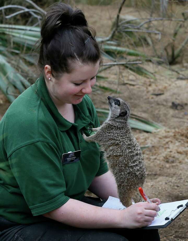 A meerkat stands on keeper Tegan McPhail's clipboard during a photo call for the annual stock take at London Zoo, Thursday, Jan. 3, 2013. More than 17,500 animals including birds, fish, mammals, reptiles and amphibians are counted in the annual stock take at the zoo. Photo: Kirsty Wigglesworth, Associated Press / AP