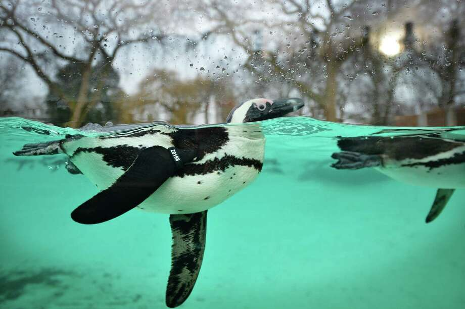 Penguins swim during the annual stocktake at ZSL London Zoo in central London on January 3, 2013. ZSL London Zoo embarked on January 3 on their annual complete head-count of every animal at the zoo, which houses over 17,000 animals. Photo: BEN STANSALL, AFP/Getty Images / AFP