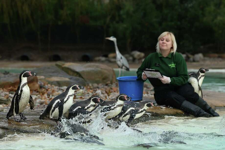 A zookeeper poses with penguins during London Zoo's annual stocktake of animals on January 3, 2013 in London, England. The zoo's stocktake takes place annually, and gives keepers a chance to check on the numbers of every one of the animals from stick insects and frogs to tigers and camels. Photo: Dan Kitwood, Getty Images / 2013 Getty Images