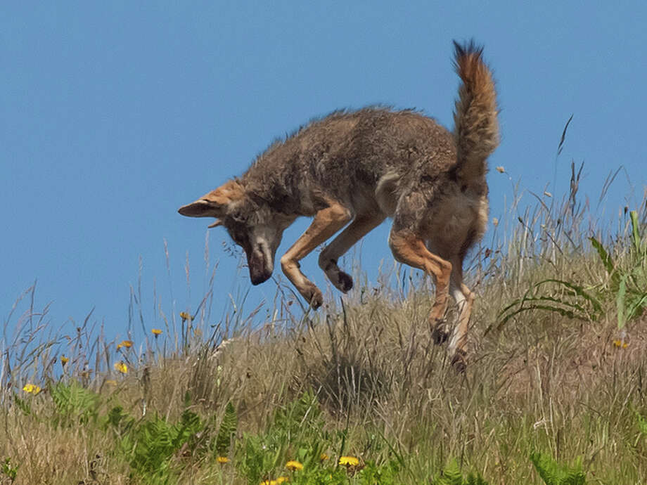 "18 facts about coyotesThe coyote's name comes from an Aztec word, ""coyotl,"" which means ""barking dog."" (Oklahoma Department of Wildlife Conservation) Photo: Franco Folini/Flickr Creative Commons"