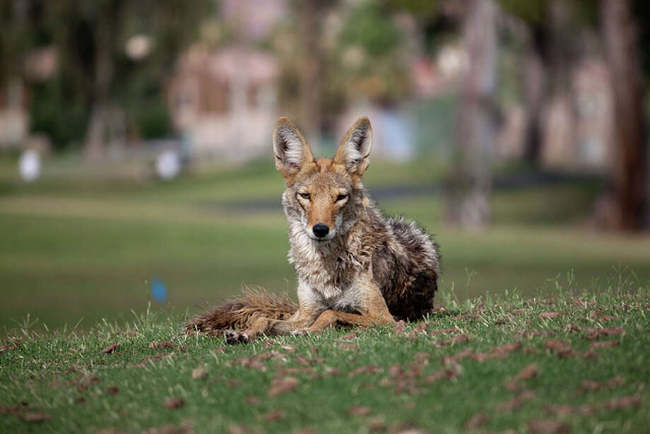 The California Department of Fish and Game advises that if you are followed by a coyote, the best practice is to make noise. If that fails to scare the animal off, throw rocks. Dru Bloomfield/At Home in Scottsdale/Flickr Creative Commons