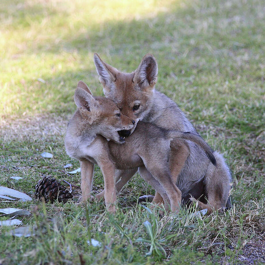 Typically, each litter of coyotes has five to seven pups. (Texas Department of Parks and Wildlife) g'pa bill/Flickr Creative Commons
