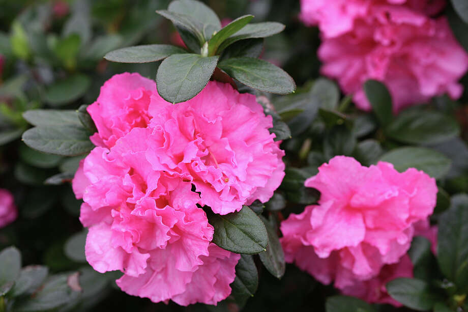 Double Pink Bloom-A-Thon azalea is a new repeat bloomer. Photo: Proven Winners