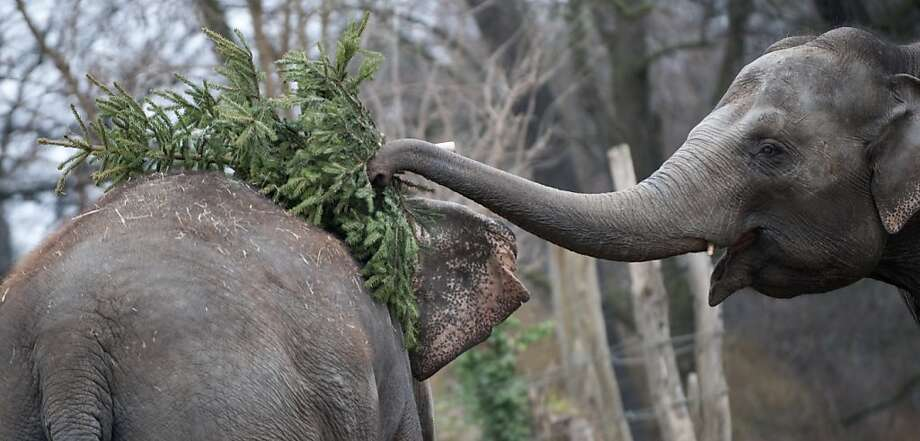 Grab some pine, meat:Christmas is over, but the holiday fun is just getting started for the elephants of the Berlin Zoo. They get to decorate their friends with discarded evergreens. Photo: Barbara Sax, AFP/Getty Images