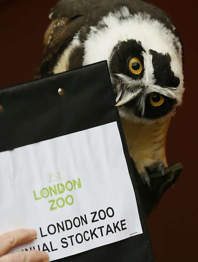 Touchscreen on iPad not work! A Spectacled Owl pecks at a clipboard during the London Zoo stocktake. Photo: Kirsty Wigglesworth, Associated Press