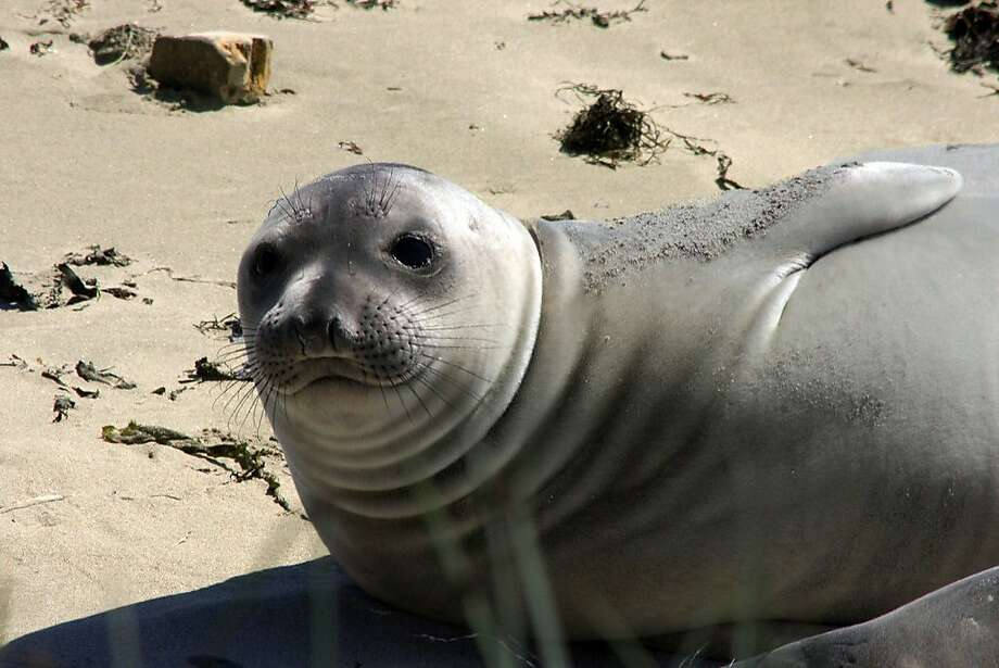 Elephant seals are in residence at Año Nuevo State Park. Photo: Courtesy San Mateo Co. CVB