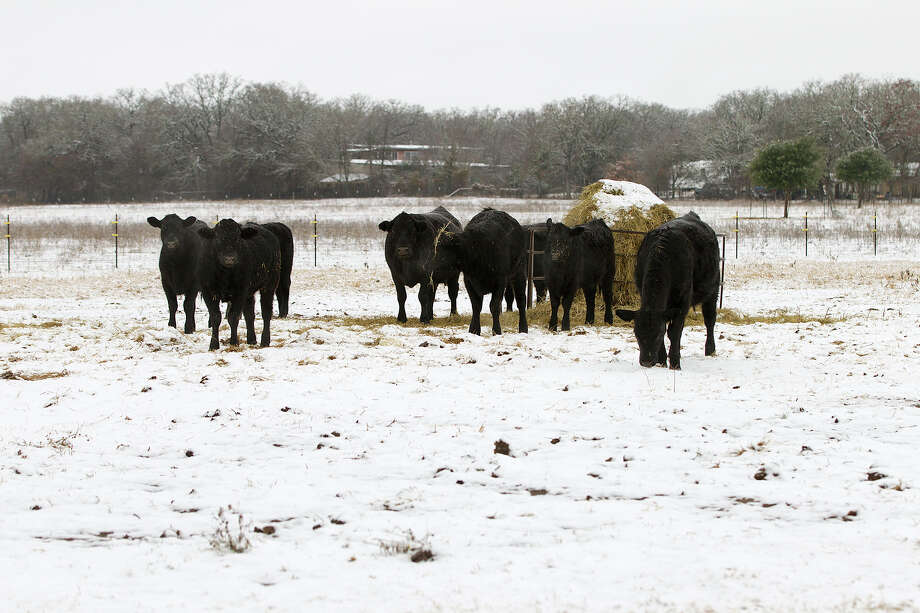 A few cows take a break from their hey bale to check out the curious figure at the fence near Fredericksburg,Texas, Friday Jan. 4, 2013, where snow fell covering peach orchards and grape fields. Photo: Alberto Martinez, Associated Press / Austin American-Statesman