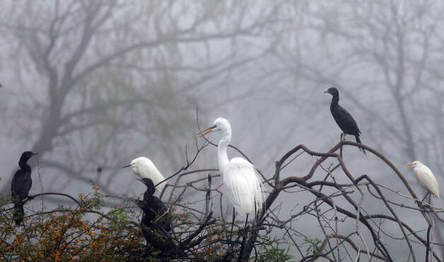 Water fowl sits high on top of tree branches in the morning fog in March 2012 near Our Lady of the Lake University.  John Davenport/San Antonio Express-News Photo: JOHN DAVENPORT, Express-News / SAN ANTONIO EXPRESS-NEWS (Photo can be sold to the public)