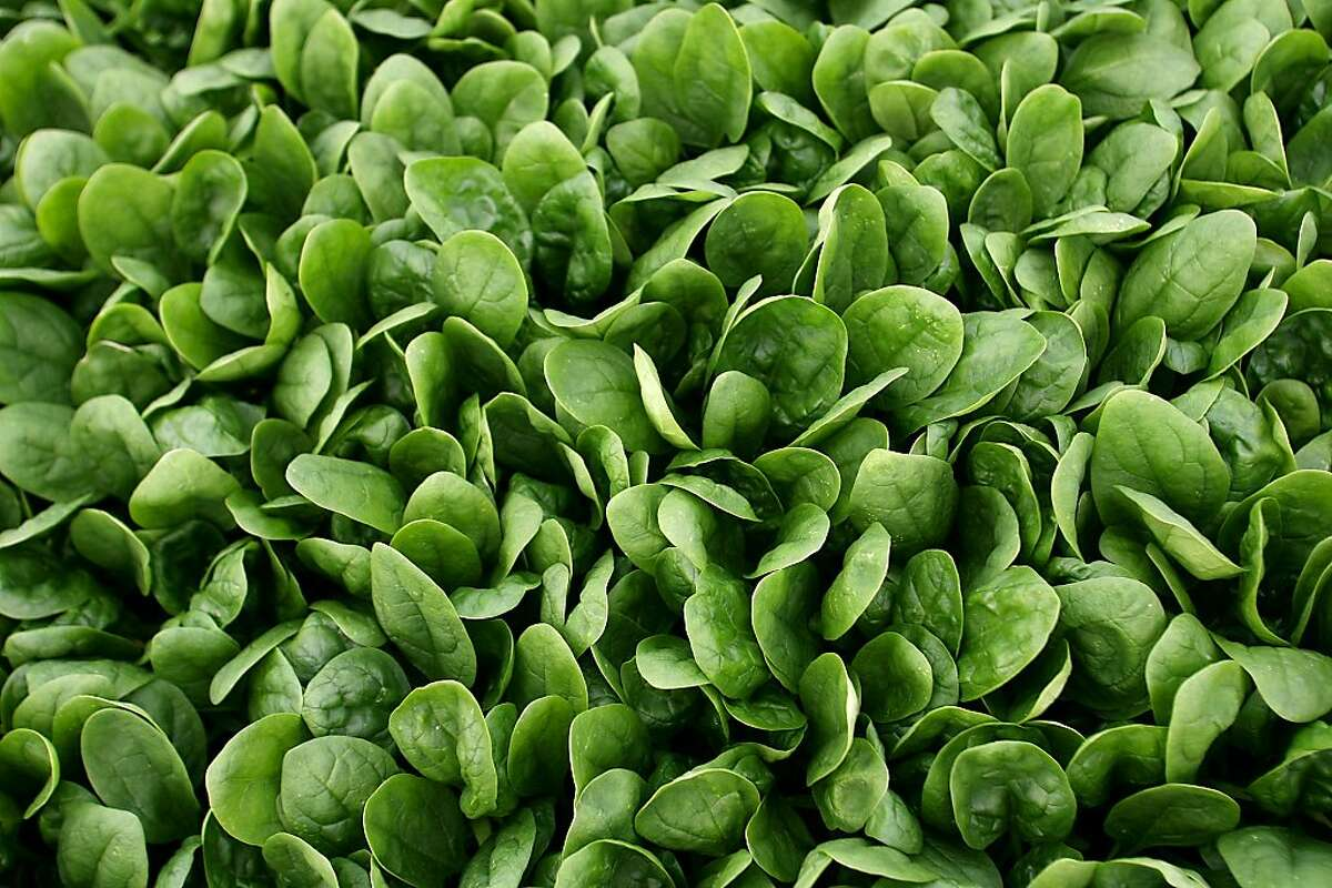 Untainted spinach grows in an Ocean Mist Farms field near Castroville, Calif., Monday, Sept. 18, 2006.
