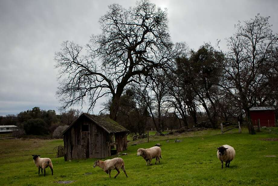 Sheep may safely graze at Animal Place, where a team of vegans rescues farm creatures who live out their natural life spans. Photo: Max Whittaker/Prime, Special To The Chronicle