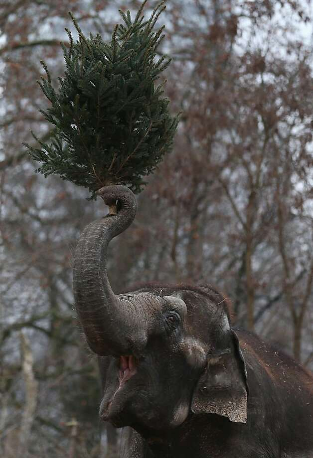 An Elephant munchs on Christmas trees in her enclosure at Berlin's Zoologischer Garten zoo on January 4, 2013 in Berlin, Germany. Traditionally the animals are given leftover Christmas trees in the first week of the New Year. Photo: Andreas Rentz, Getty Images