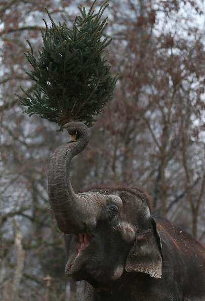 An Elephant munchs on Christmas trees in her enclosure at Berlin's Zoologischer Garten zoo on Januar