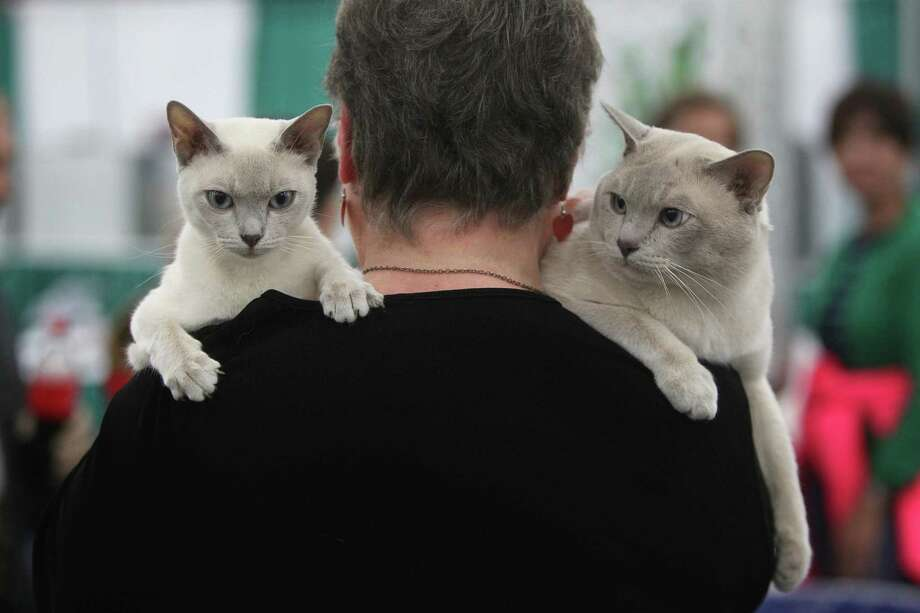 CRYSTAL LAKE and FROSTY: Sheryl Zink carries Tonkinese breed cats back to their resting place after showing during the Houston Cat Club's 60th Annual Charity Cat Show at George R. Brown Convention Center on Saturday, Jan. 5, 2013, in Houston. Photo: Mayra Beltran, Houston Chronicle / © 2012 Houston Chronicle