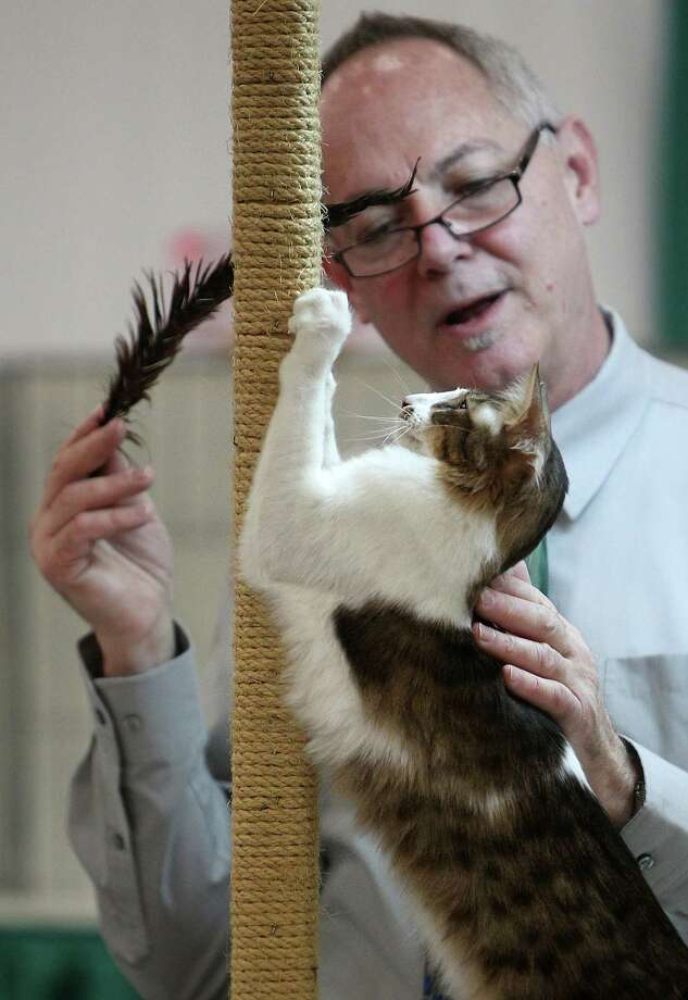 DARE TO DREAM: Judge Gary Powell evaluates 'Dare to Dream', with the Catajam Cattery, in the Oriental Longhair Division during the Houston Cat Club 60th Annual Charity Cat Show at George R. Brown Convention Center on Saturday, Jan. 5, 2013, in Houston. Photo: Mayra Beltran, Houston Chronicle / © 2012 Houston Chronicle