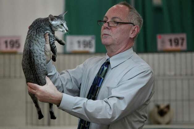 AMERICAN GIRL: Judge Gary Powell inspects the cat from the Klazee Katz Cattery in the Oriental Shorthair Division during the Houston Cat Club 60th Annual Charity Cat Show at George R. Brown Convention Center on Saturday, Jan. 5, 2013, in Houston. Photo: Mayra Beltran, Houston Chronicle / © 2012 Houston Chronicle