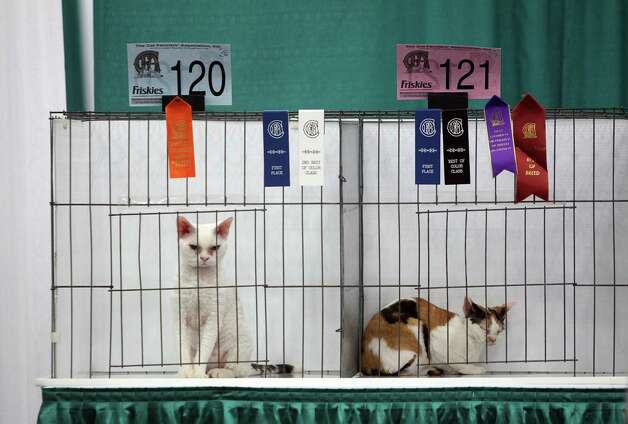 Show cats wait for judging to conclude during the Houston Cat Club 60th Annual Charity Cat Show at George R. Brown Convention Center on Saturday, Jan. 5, 2013, in Houston. Photo: Mayra Beltran, Houston Chronicle / © 2012 Houston Chronicle
