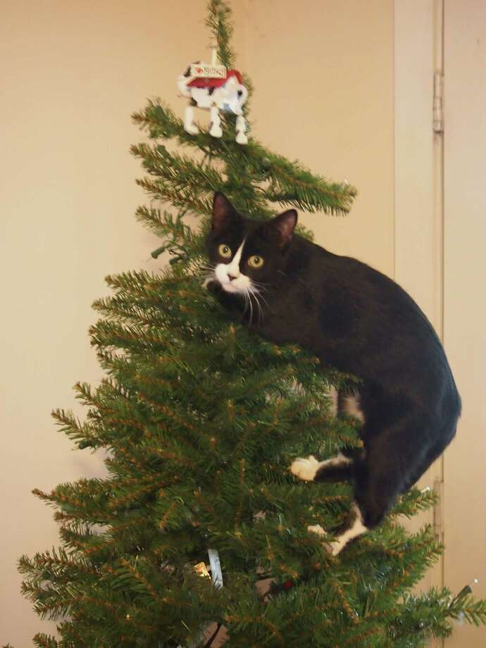 My kitten Tessa decided that I needed some help decorating the Christmas tree.... this was just before Tessa knocked the tree over  (Justine Dalton) Bethlehem
