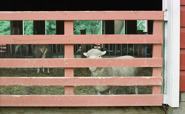 Times Union photo by MICHAEL VIRTANEN--9/29/96--A SHEEP PEEKS OUT THE GATE AT THE OLD CHATHAM SHEEP HERDING CO. IN OLD CHATHAM, N.Y.  11/17/96 Photo: MICHAEL VIRTANEN / ALBANY TIMES UNION