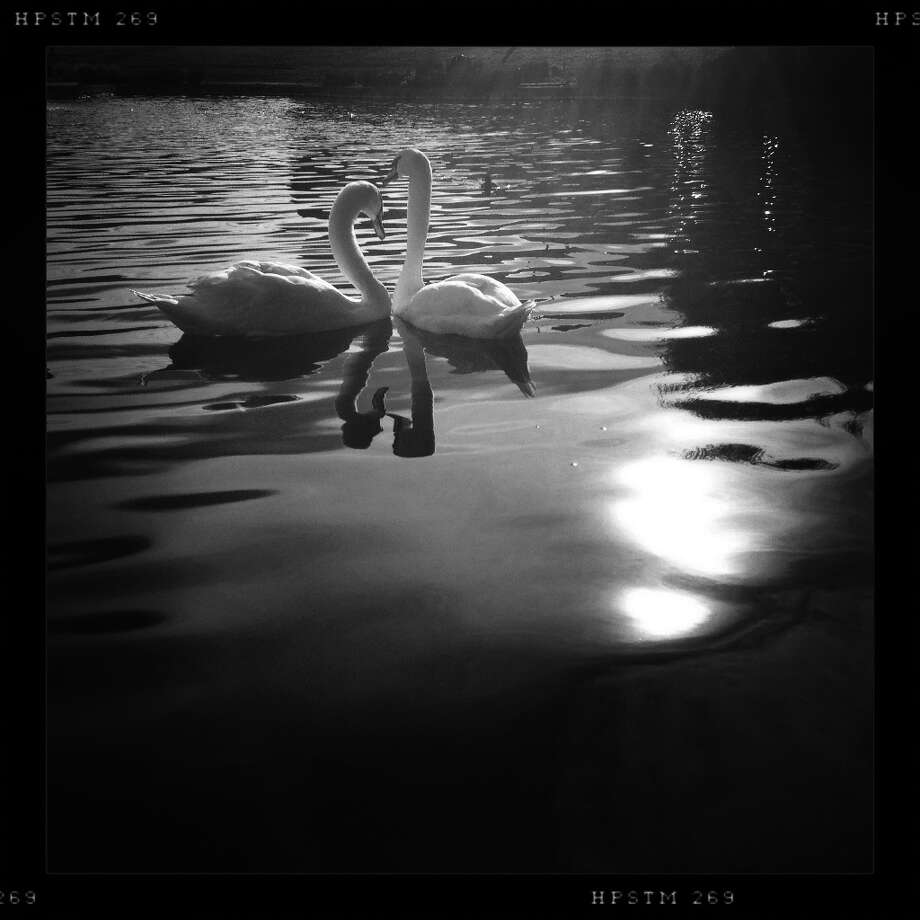 Two swans cross paths at the Palace of Fine Arts on the last day of 2012. Photo: Mike Kepka, The Chronicle / ONLINE_YES
