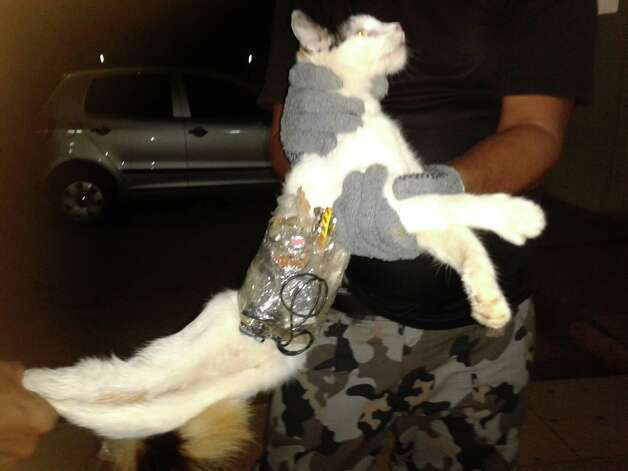 In this photo taken with a cell phone early Monday and released by Brazil's General Superintendency of Prisons of Alagoas (SGAP), guards hold a cat that has items taped to its body at a medium-security prison in Arapiraca, in Alagoas state, Brazil. A prison official says they caught the cat slipping through a prison gate with a cell phone, drills, small saws and other contraband taped to its body. Photo: AP