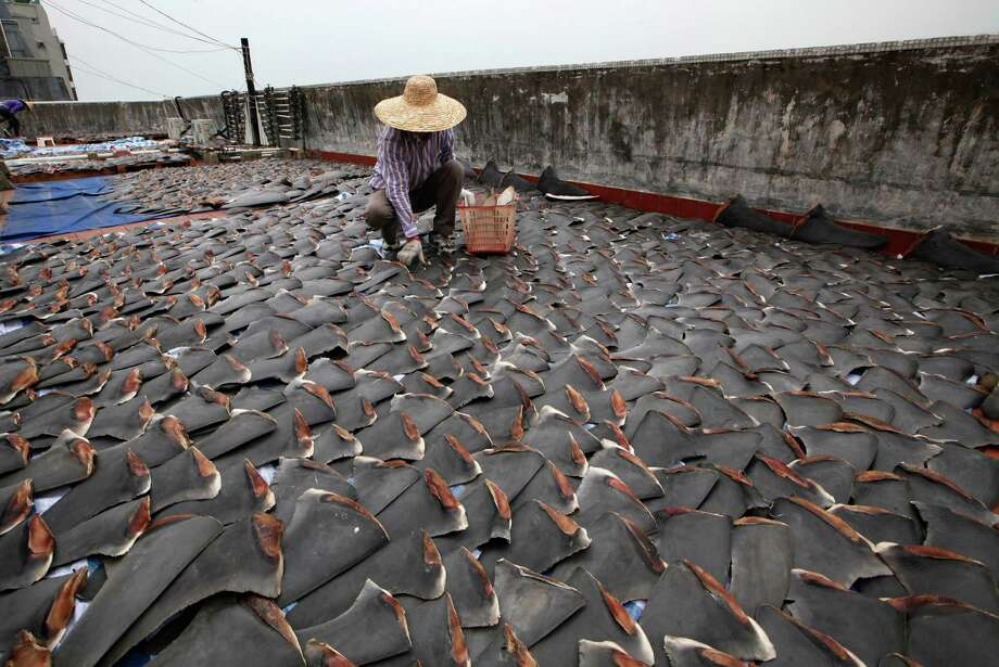 A worker collects pieces of shark fins dried on the rooftop of a factory building in Hong Kong on Thursday. For centuries, shark fin, usually served as soup, has been a coveted delicacy in Chinese cooking, extolled for its supposed ability to boost sexual potency, enhance skin quality, increase one's energy, prevent heart diseases and lower cholesterol. Photo: AP