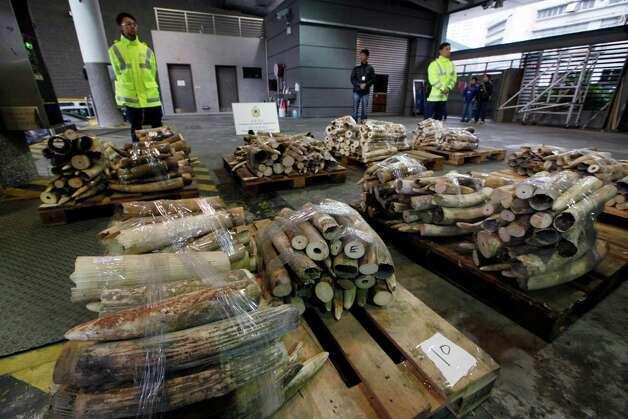 Ivory tusks are displayed after being confiscated by Hong Kong Customs in Hong Kong on Friday. Hong Kong authorities have made their third big seizure of illegal ivory in three months after confiscating more than a ton of the elephant tusks worth $1.4 million. The city's customs department said it seized 779 pieces of ivory weighing about 1,300 kilograms (2,866 pounds). The department said Friday that the ivory was found in a shipping container sent to the Hong Kong port. Photo: AP