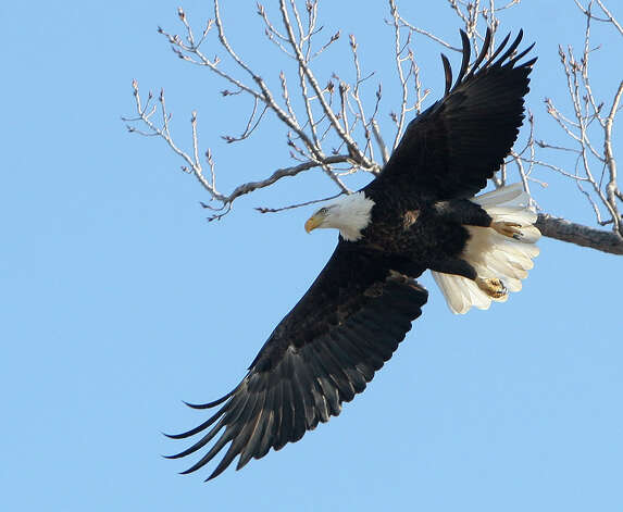 As if they knew they were expected, American bald eagles returned to the Alton, Ill., area Friday, just in time for an eagle watching season kick-off event on Saturday. A mature eagle takes flight from a tree on Illinois Route 143 in Alton Friday morning.  At least six eagles could be seen in trees on both sides of the Mississippi River near Alton Friday, a good sign following last year's dismal eagle viewing season. The Alton-Audubon Eagle Fest is Saturday and will feature the display of a live eagle and other birds of prey up close and information about eagle watching. Photo: AP