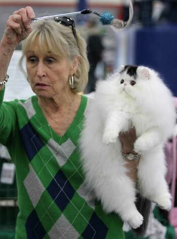 JUST MY LUCK: Irene Allen of LaPorte entertains her bicolor Persian cat named Just My Luck during the Houston Cat Club 60th Annual Charity Cat Show at the George R. Brown Convention Center Sunday, Jan. 6, 2013, in Houston. He is four-months-old and this was his first show. Photo: Melissa Phillip, Houston Chronicle / © 2012 Houston Chronicle
