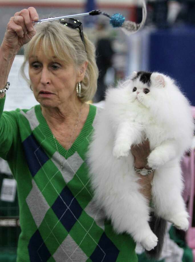 JUST MY LUCK:Irene Allen of LaPorte entertains her bicolor Persian cat named Just My Luck during the Houston Cat Club 60th Annual Charity Cat Show at the George R. Brown Convention Center Sunday, Jan. 6, 2013, in Houston. He is four-months-old and this was his first show. Photo: Melissa Phillip, Houston Chronicle / © 2012 Houston Chronicle